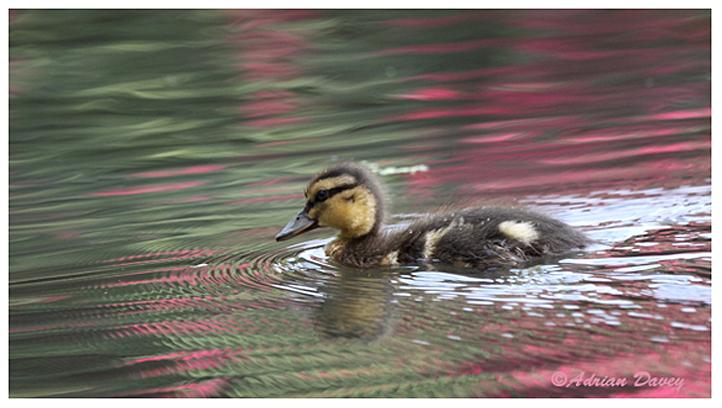 Mallard Duckling 1