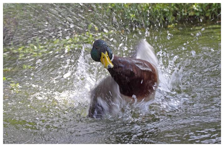 Mallard drake bathing