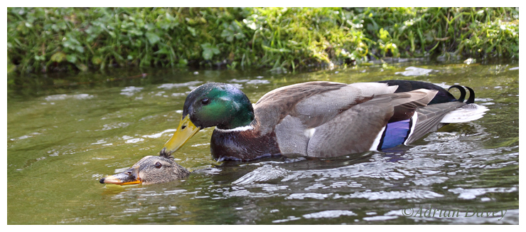 Mallards mating 2