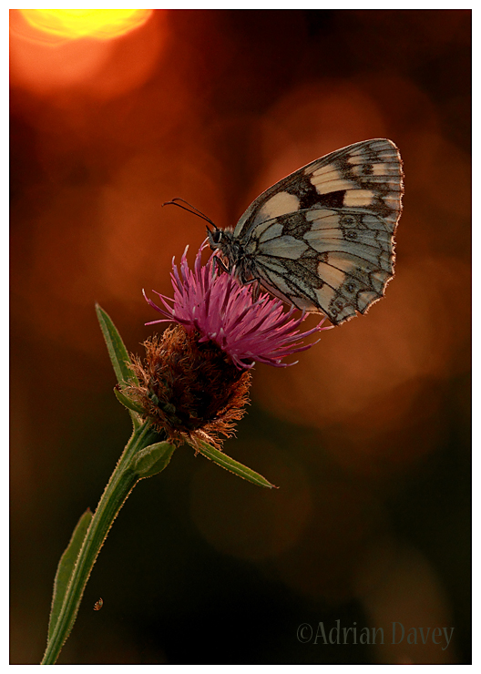 Marbled White Sunset