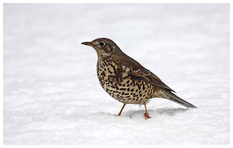 Mistle Thrush in the snow
