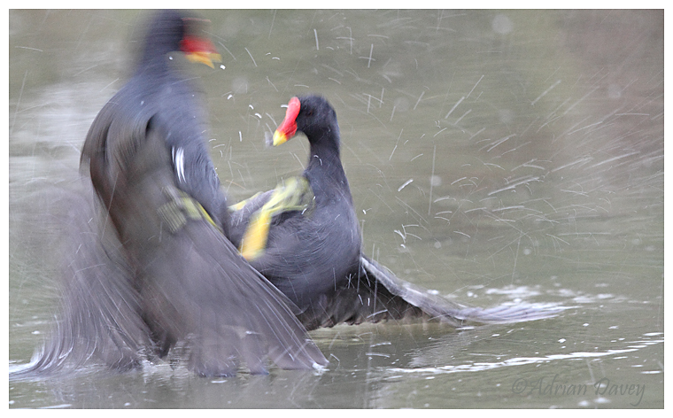 Moorhen fight