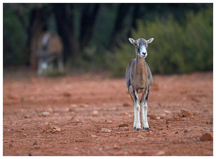 Mouflon female