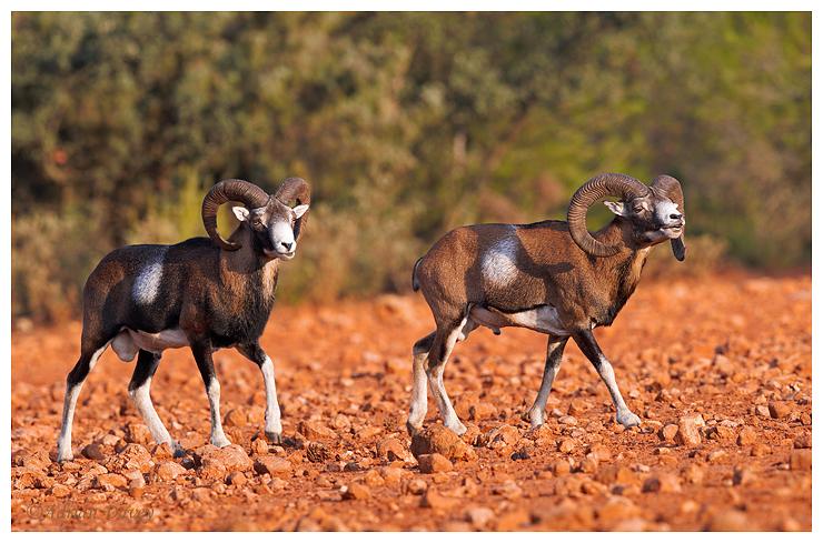 Mouflon two rams