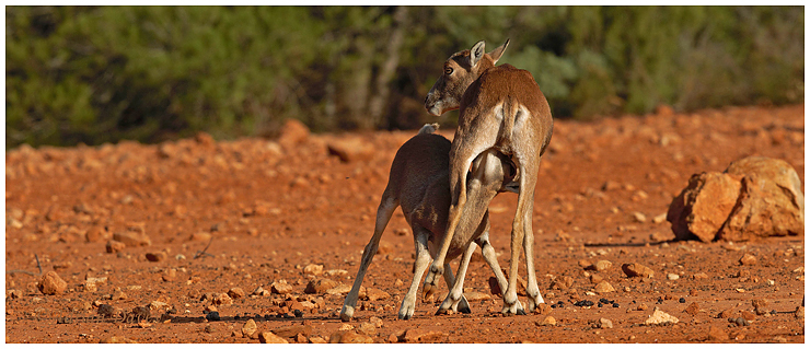 Mouflon mother suckling young