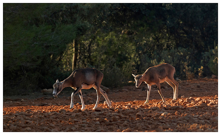 Mouflon females