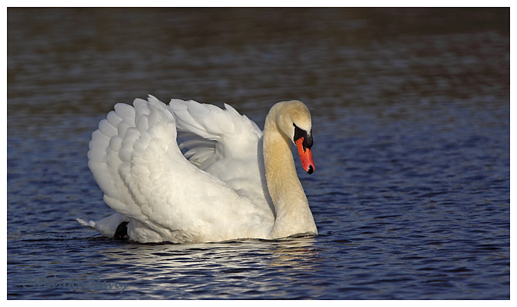 Mute Swan adult
