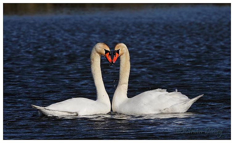Mute Swan courtship 2