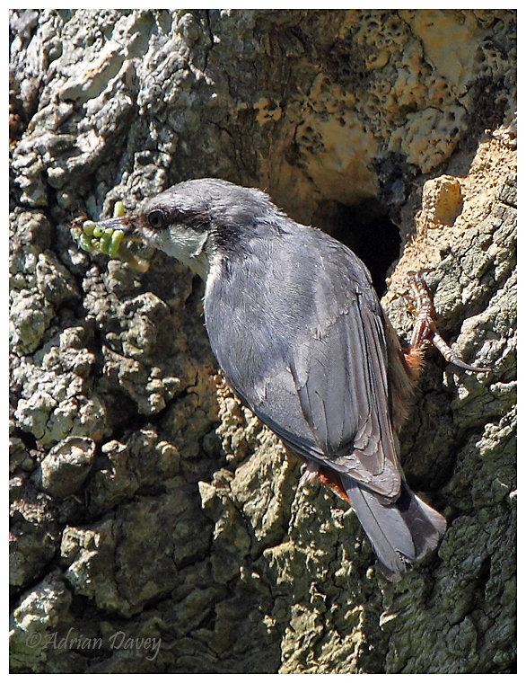 Nuthatch at nest hole,with food for young.