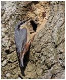 Nuthatch at nest hole.