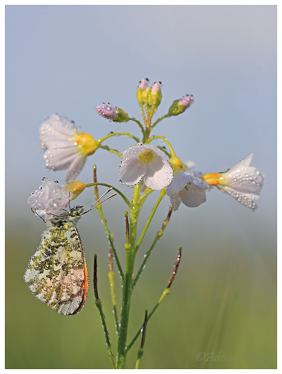 Orange Tip at rest on Cuckoo Flower.