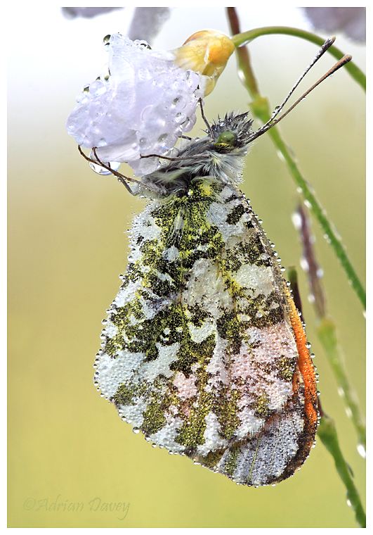 Orange Tip male.