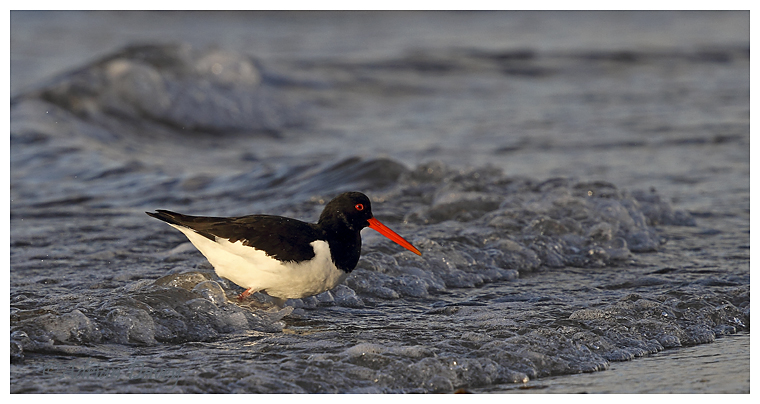 Oystercatcher in the surf
