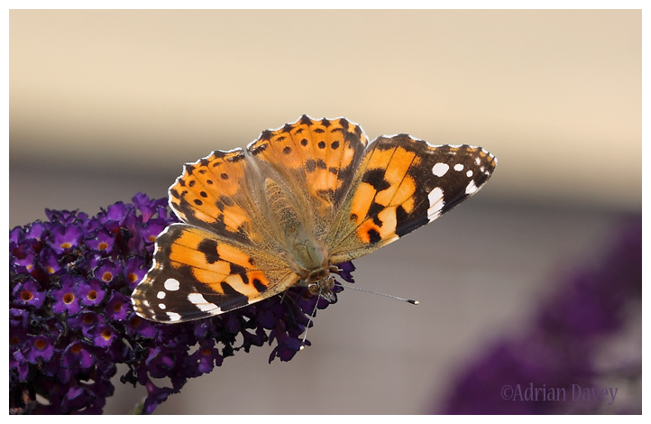 Painted Lady on Buddlia 2