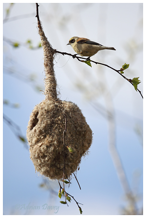 Penduline Tit at nest