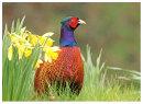 Cock Pheasant and Daffodills