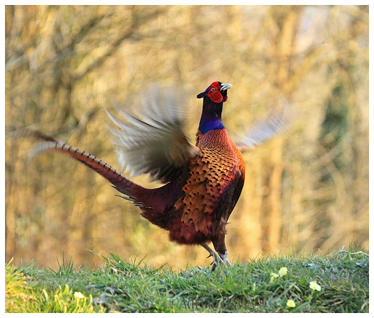 Cock Pheasant displaying