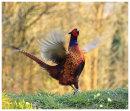 Cock Pheasant displaying