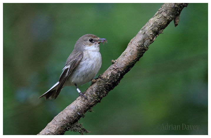 Pied Flycatcher-female