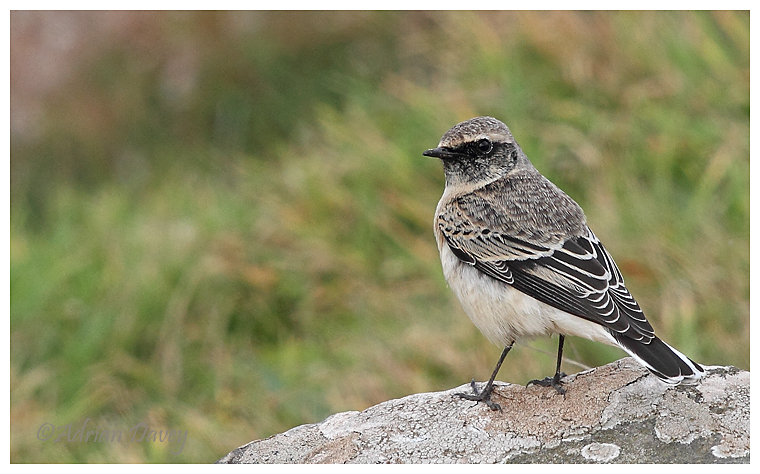 Pied Wheatear 1st winter male