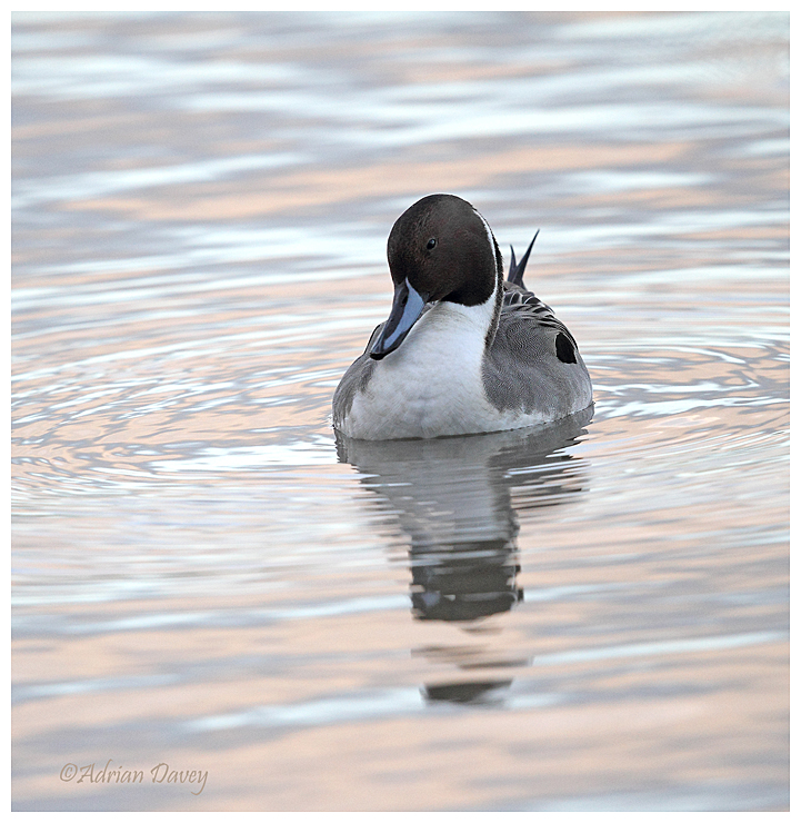 Pintail male in late afternoon light.