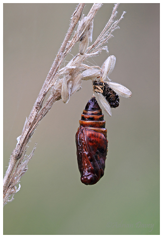Pupa 2 (unknown species)