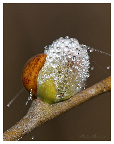 Willow Catkins with Dew 1