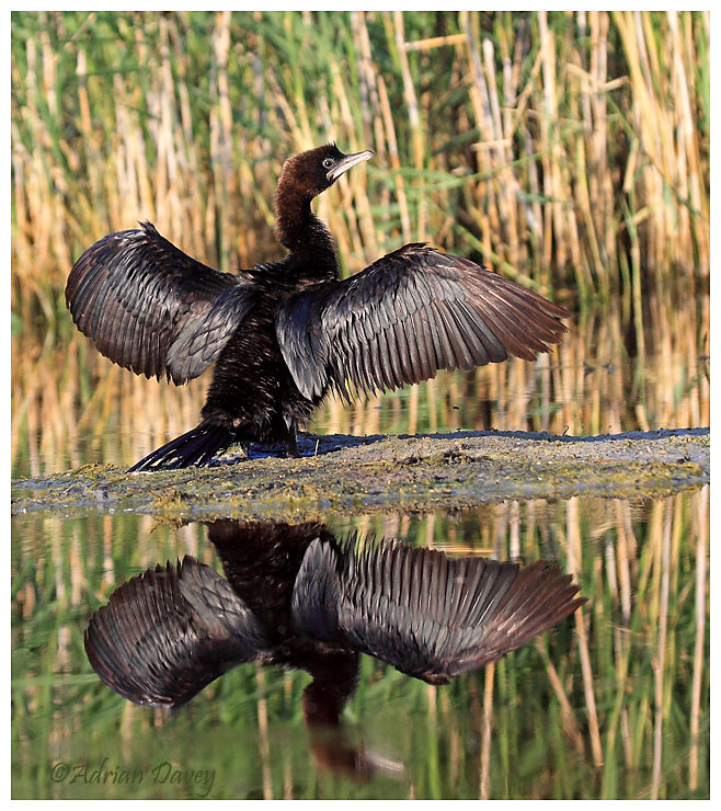 Pygmy Cormorant drying its wings.