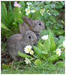 Young Rabbits eating the Primroses
