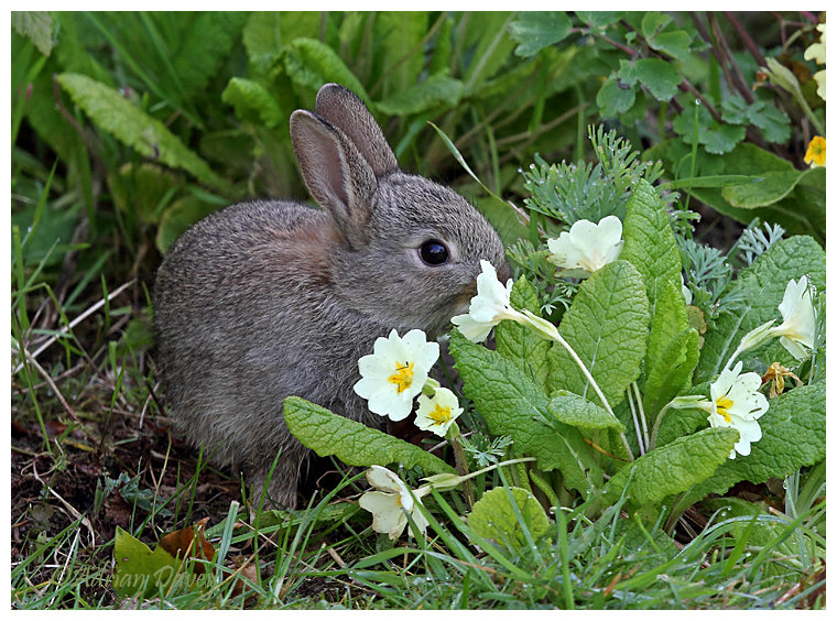 Rabbit eating the Primroses