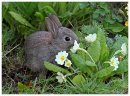Rabbit eating the Primroses