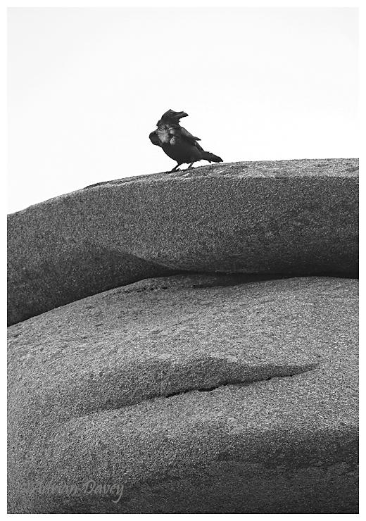 Raven on Granite