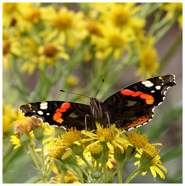 Red Admiral on Ragwort