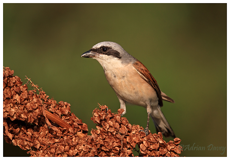 Red Backed Shrike male