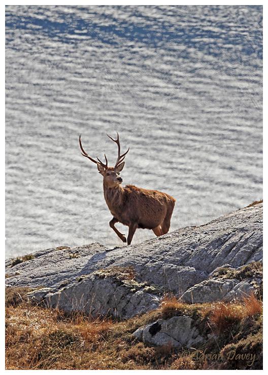Red Deer by the sea.