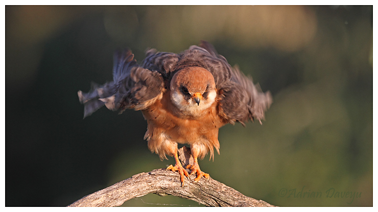 Red Footed Falcon, female preening