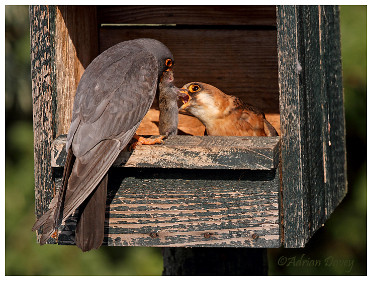 Red Footed Falcons pair in nestbox