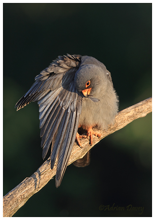 Red Footed Falcon,male preening in early morning light.