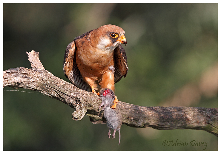 Red Footed Falcon with Vole