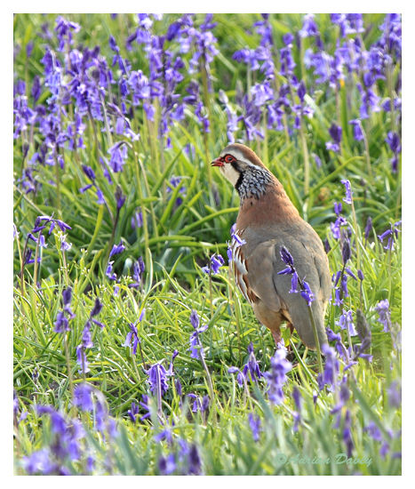 Red Legged Partridge among Bluebells