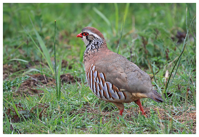 Red Legged Partridge in the rain
