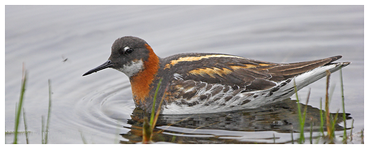Red Necked Phalarope catching flies