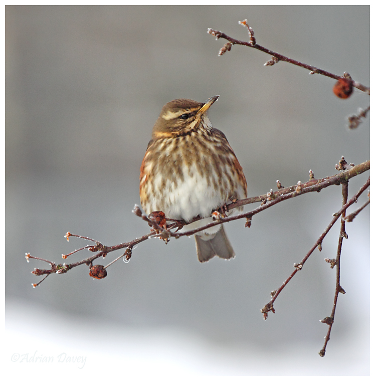 Redwing on frosty branch
