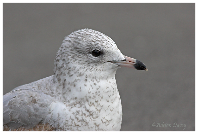 Ring Billed Gull 2