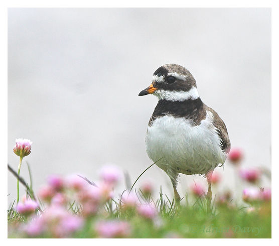 Ringed Plover in Thrift