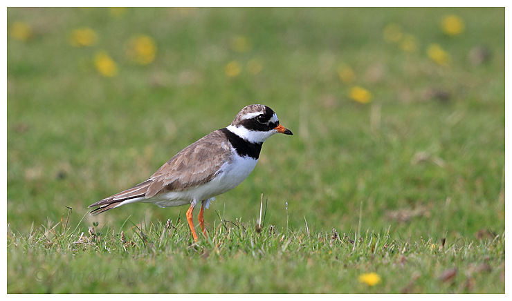 Ringed Plover adult.