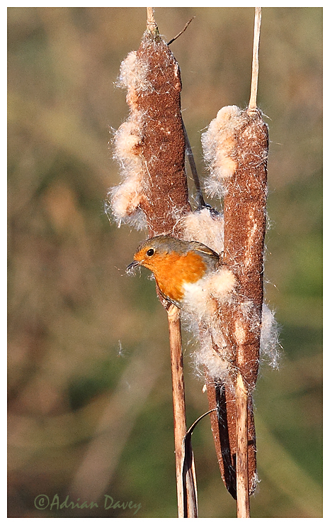 Robin on Reedmace