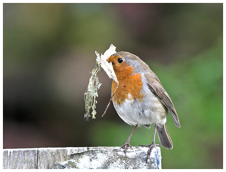 Robin with nesting material 2