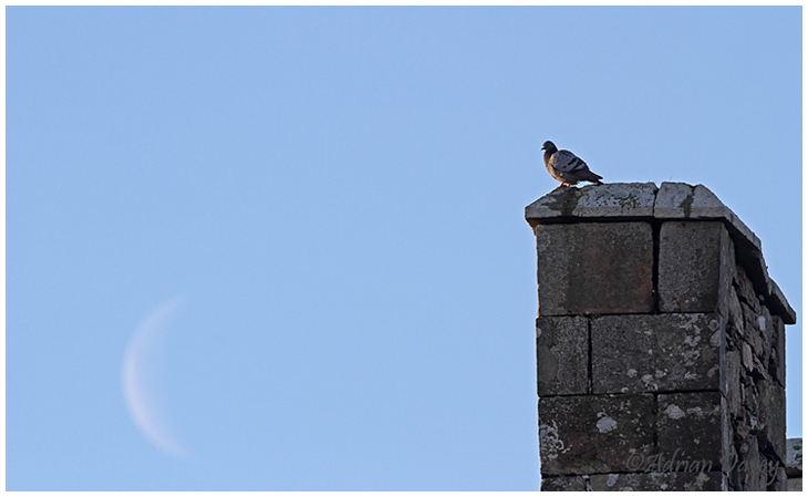 Rock Dove and moon.