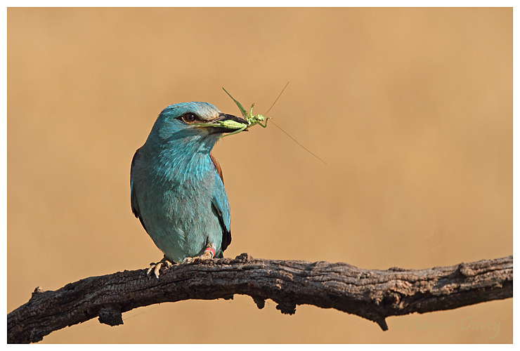 European Roller with Cricket